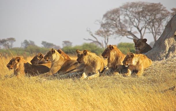 Нападение прайда львов и стаю импал сняли на видео